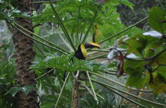 toucan wildlife in costarica