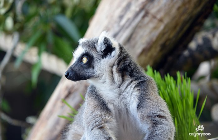 Land of Lemurs_1