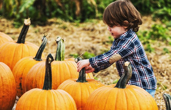A two year old boy makes his selection from a wide variety of pumpkins.