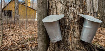 Maple_Syrup_Festivals_in_the_GTA