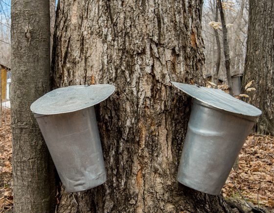 Maple Syrup Festivals in the GTA