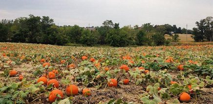 toronto_pumpkin_patches_image_of_content