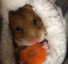 Hamster-and-carrot-1-235x300