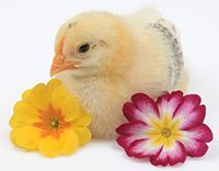 Baby_chick_with_spring_flowers