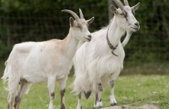 sci_Goats_Go_Inspecting_wikimedia_commons-620x330
